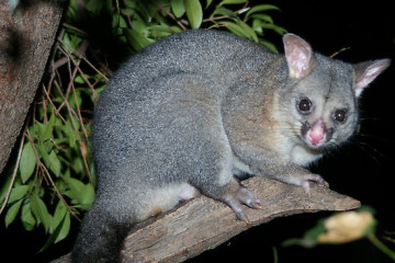 possum control kew